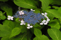 Armature Stock photo [3017271] Hydrangea