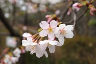 Tamanawa cherry blossoms Stock photo [3017517] Tamanawa