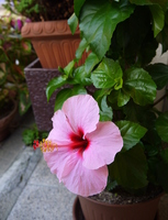 Pink Hibiscus Stock photo [3017871] Hibiscus