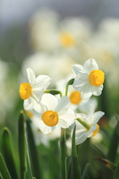 Japan narcissus Stock photo [3020458] Narcissus