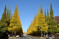 Ginkgo trees Stock photo [3020488] Ginkgo