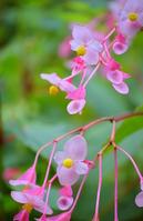 Begonia grandis Stock photo [3020768] Begonia