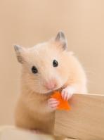 Kinkuma hamster eating a carrot Stock photo [3020763] Kinkuma
