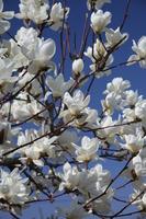 Full bloom of Shiraki lotus Stock photo [3023177] Magnolia