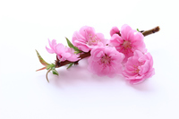 Peach festival cute pink peach flowers Stock photo [3027637] Peach