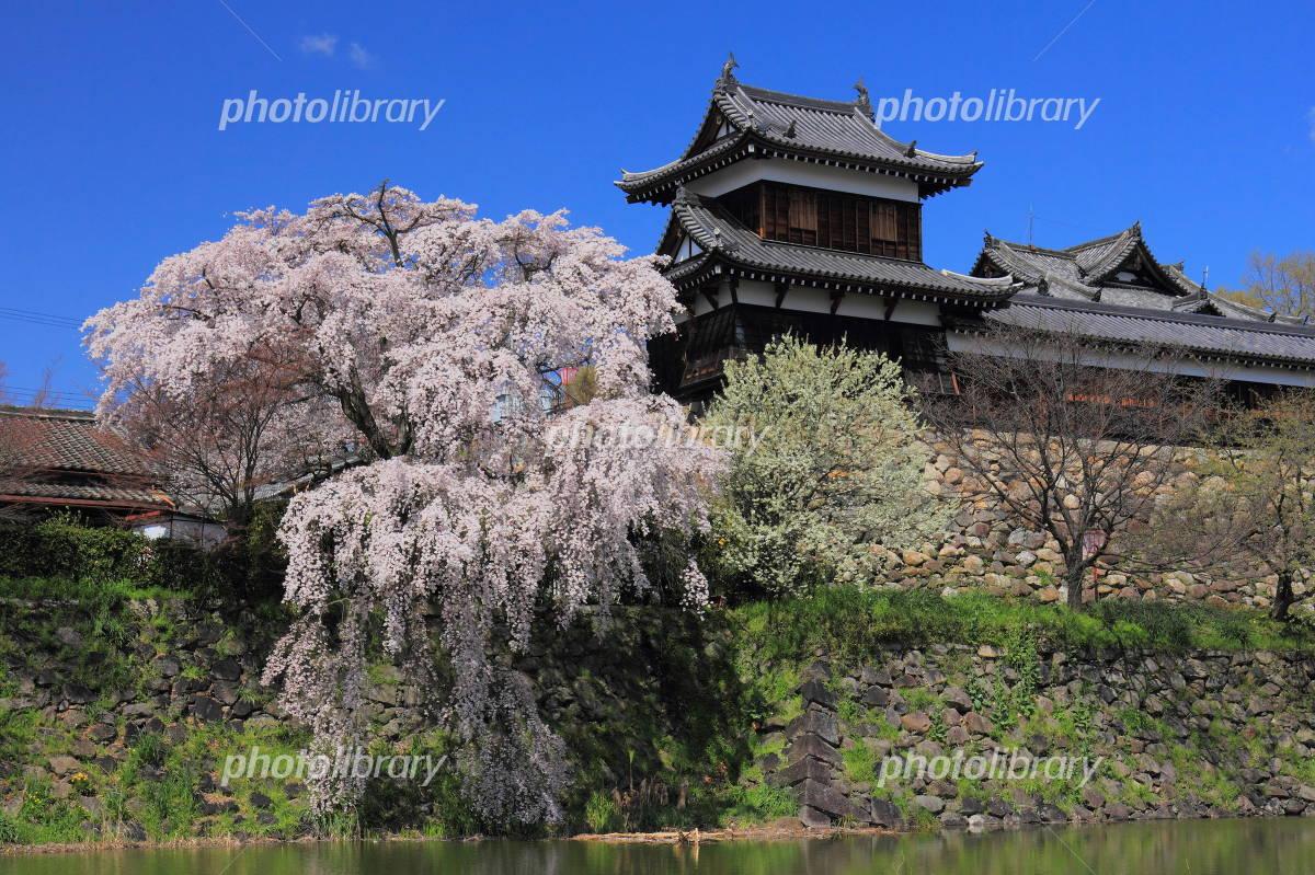 Weeping cherry Koriyama Castle Photo