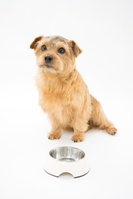To wait for a meal Norfolk Terrier Stock photo [3100278] Dogs
