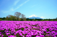Fuji and phlox Stock photo [3106991] Spring