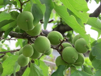 Minami High plum before ripe Stock photo [3107816] Plant
