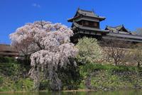 Weeping cherry Koriyama Castle Stock photo [3108541] Koriyama