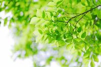 The fresh green to Wakaba Stock photo [3108554] Pale