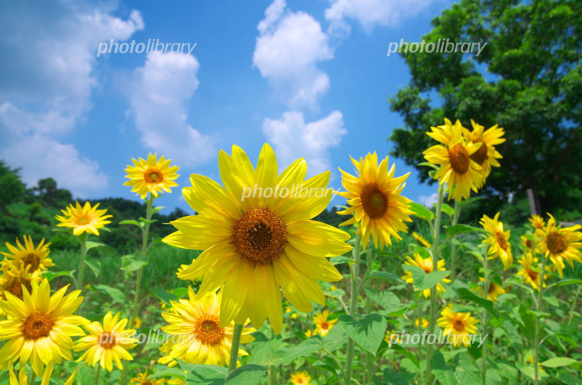 Blue sky and sunflower Photo