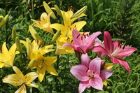 Yellow and pink lily flowers Stock photo [3203423] Lily