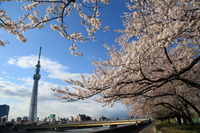 Sakura Sumida River Sky Tree Stock photo [3206802] Sakura