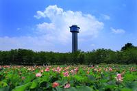 Village of ancient lotus Stock photo [3207044] Gyoda-Shi