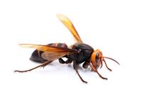 Hornet Stock photo [3209759] Hornet
