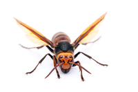 Asian giant hornet Stock photo [3209766] Hornet