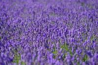 Lavender Stock photo [3210487] Lavender