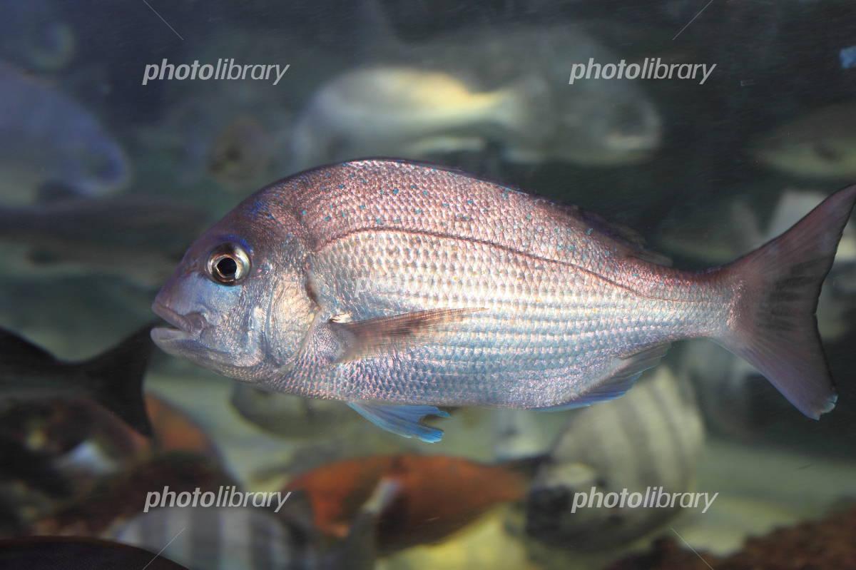 Red sea bream Photo