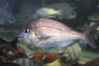 Red sea bream Stock photo [3306988] Red