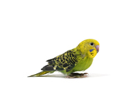 Budgerigars Stock photo [3308061] Bird
