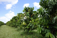 Tree in the coffee gardens and the beans Stock photo [3313600] Coffee