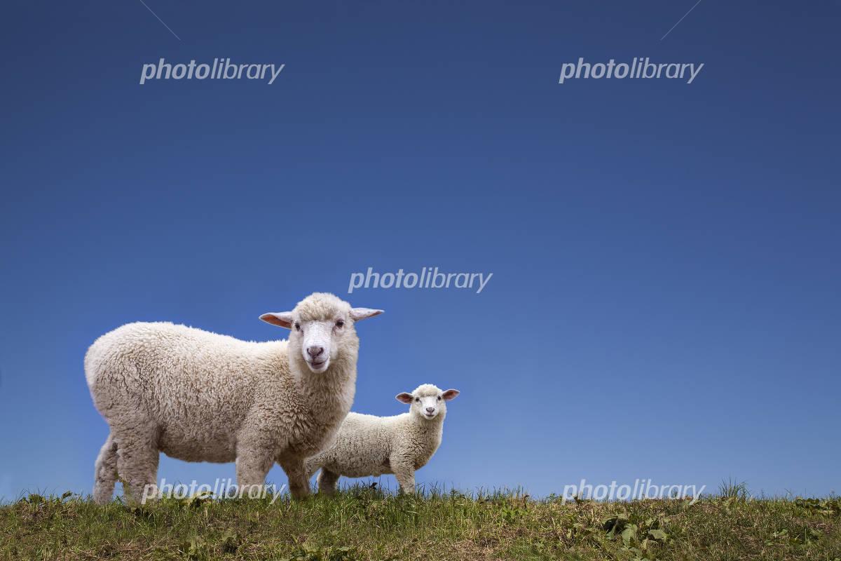 Parent-child of sheep Photo