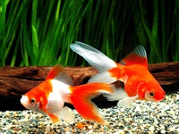 Goldfish two dogs Stock photo [3401507] Goldfish