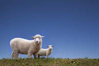 Parent-child of sheep Stock photo [3404220] Sheep