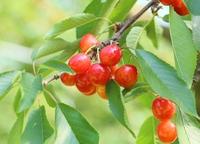 Cherries (Nishiki Sato) Stock photo [3404861] And