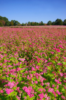 Field of red buckwheat Stock photo [3406343] Saga