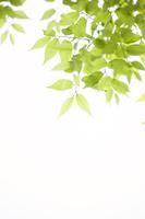 Leaves of fresh green zelkova Stock photo [3493777] Fresh