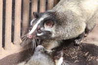 Civet Stock photo [3496999] Animal