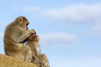 Parent-child monkey stock photo