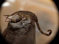 Japan of scorpion Madarasasori Stock photo [3506416] Okinawa