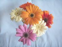 Gerbera Stock photo [108064] Flower
