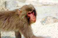 Miyajima of monkey Stock photo [107159] Hiroshima
