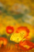 Papaver rhoeas Stock photo [107311] Papaver