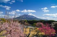 Sen Iwao Garden of plum and Sakurajima Stock photo [3599699] Sakurajima