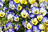 Pansy Stock photo [3600730] Pansy