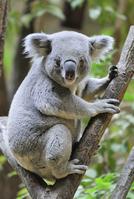 Koala Stock photo [3605792] Koala