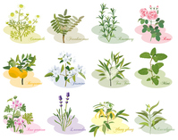 Aroma plant variety [3606746] An