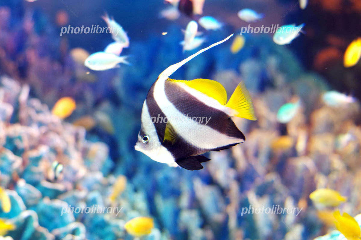 Pennant coralfish Photo