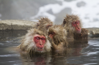 Monkey entering the hot spring Stock photo [3702495] Monkey