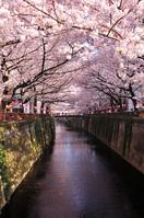 Cherry Meguro River Stock photo [3710269] Tokyo