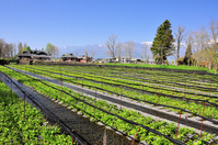 Nagano Prefecture Great wasabi farm Stock photo [3711367] Nagano