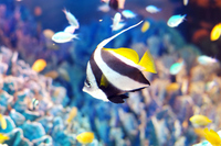 Pennant coralfish Stock photo [3714489] Pennant