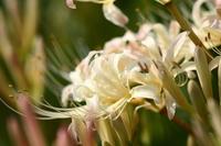 White amaryllis arrow Katsukawa Stock photo [3715008] Cluster