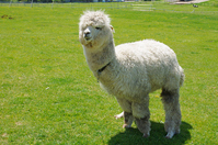 Alpaca Stock photo [3822715] Alpaca