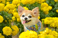 Chihuahua in the marigold flower garden Stock photo [3827614] Chihuahua